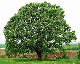 Image result for pictures of oaks trees