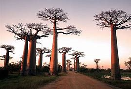 Image result for avenue of the baobabs