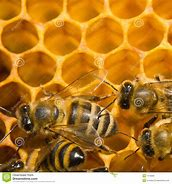 Image result for copyright free pictures of bees