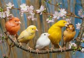 Image result for male canaries
