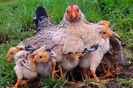 Image result for free picture of mother hen