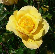 Resultado de imagem para imagem de uma rosa