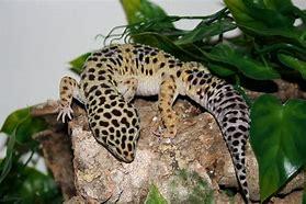 Image result for leopard gecko
