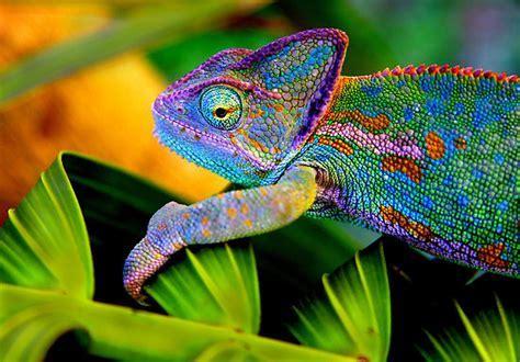 Image result for chameleon