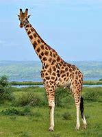 Resultado de imagem para giraffa