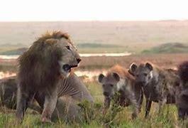 ライオン横取り に対する画像結果