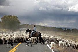 Image result for herding