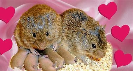 Image result for prairie voles couples