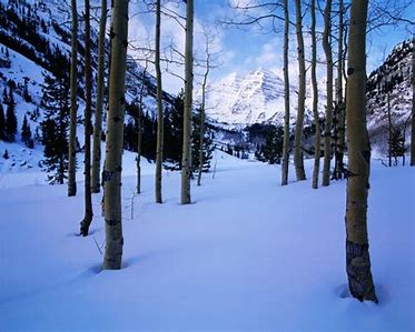 Image result for Aspen trees in winter