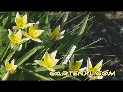 wilde tulpen im garten youtube