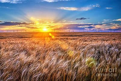 Image result for amber waves of grain images