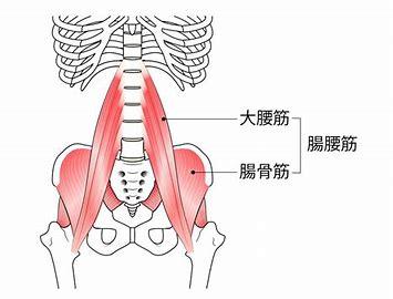 腸腰筋 無料画像 に対する画像結果