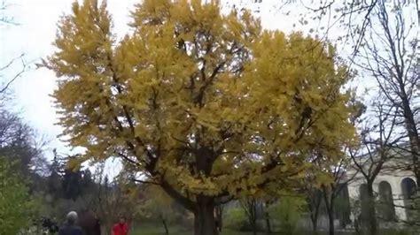 der ginkgo baum im botanischen garten schönbrunn herbst