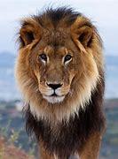 Resultado de imagem para lion