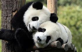 Image result for cute panda wallpaper