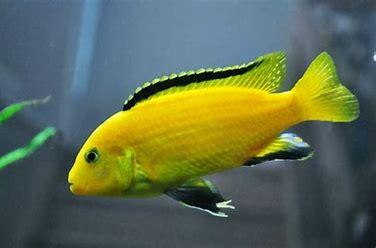 Image result for ikan lemon