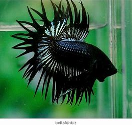 Image result for cu[ang hias double tail