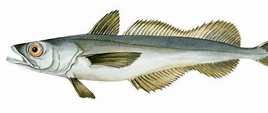 Image result for hake