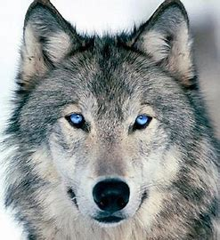 Image result for loup yeux bleu