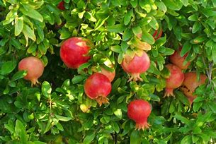 Image result for free picture of ripe pomegranate tree