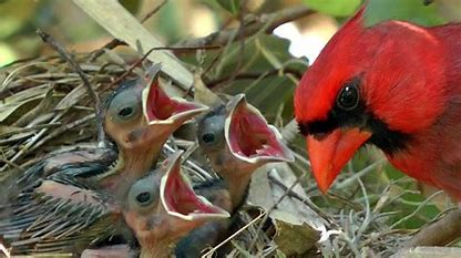 Image result for images of cardinals feeding baby birds