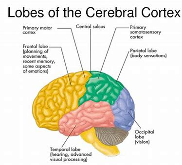 Image result for cerebral cortex