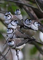 Image result for owl finch