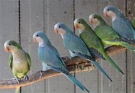 Image result for Quaker Bird