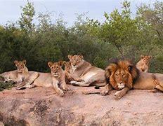 ライオンプライド に対する画像結果