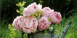 Image result for images of peonies