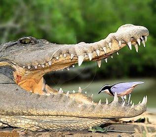 Image result for Crocodile Symbiotic Relationships