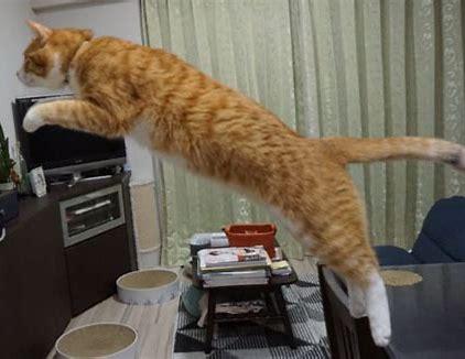 猫 身軽 に対する画像結果