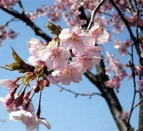 桜 に対する画像結果