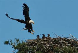 Image result for free picture of eagle and baby eaglet in nest
