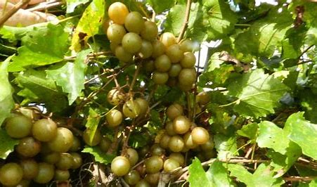 Image result for muscadine grapes