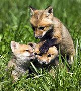 Resultado de imagen de bebé de zorro rojo