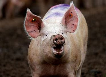 Image result for picture of a hog