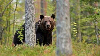 Image result for wounded animals in the woods