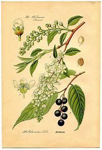 Image result for botanical clip art