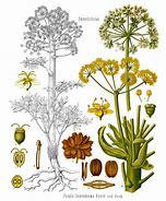 Image result for asafoetida