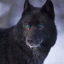 Image result for Cyan werewolf