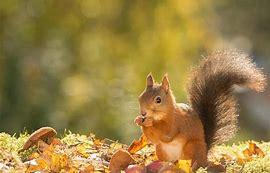 Résultat d'images pour image de écureil en automne avec les feille