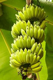Image result for bananas growing on tree