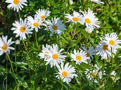 Image result for copyright free daisy