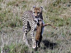 ライオン狩り に対する画像結果