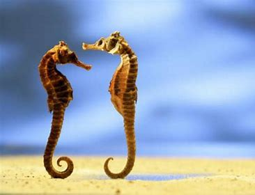 Image result for sea horse couple