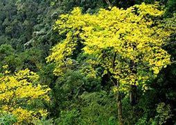 Image result for rừng mai