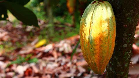 Ekuador memiliki banyak sekali petani yang menanam kakao