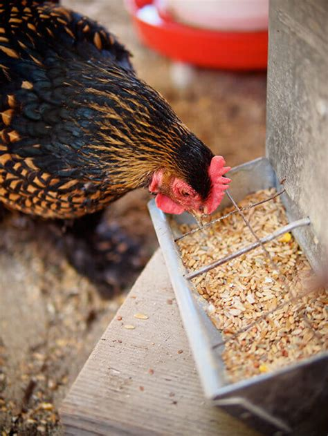 HOMEMADE WHOLE GRAIN CHICKEN FEED UPDATED AND NOW CORN