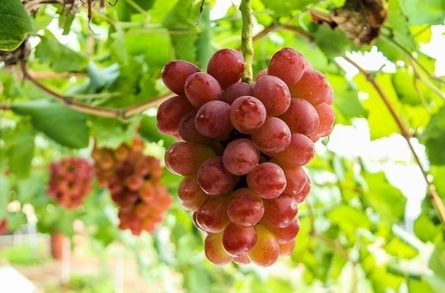 Kenali Anggur Jupiter, Si Varietas Unggul yang Tak Banyak Orang Tau!